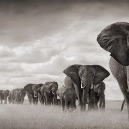 elephants savane